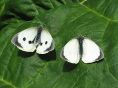 Large white (male and female)