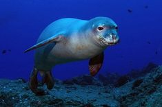 underwater photography, Hawaiian Monk seal, stunning pic, wildlife and nature, scuba diving