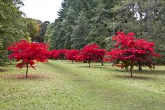 The Main Avenue in the Thorp Perrow Arboretum runs from the Monument to the Lake, and is lined with these Acer trees. At this time of year these Acers are an incredible red colour. In about 1 week's time, all the leaves will have gone.