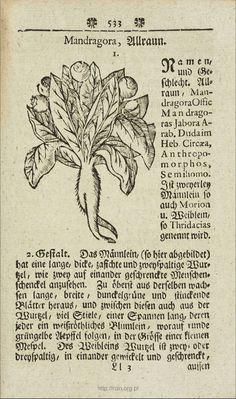 Mandragora, 1745, Samuel Müller, Curioser Botanicus oder sonderbares Kräuter-Buch, Pub - Gottlob Christian Hilscher, Dresden und Leipzig [Mandragora, Allraun] P. 533