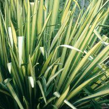Golden Sword Soapwort for sale buy Yucca filamentosa 'Golden Sword'