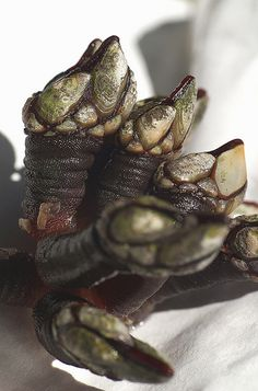 Percebes gallegos, a Spanish delicacy. Hands down the strangest, most delicious and expensive crustacean I ever ate. Like barnacles, they grow on dangerous craggy cliffs. People have died while trying to chisel them off the rocks.