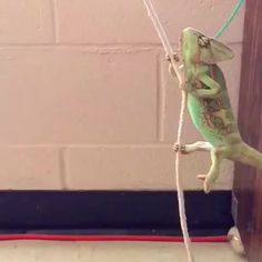 "weloveshortvideos: ""I came in like a wreckingball [Pablo the Chameleon] """