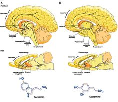Dopamine is a neurotransmitter. It is a chemical messenger that helps in the transmission of signals in the brain and other vital areas. Dopamine is found in humans as well as animals, including both vertebrates and invertebrates.