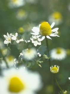 GOOD-MOOD Garden: Chamomile - There's a reason a cup of chamomile tea just before bed helps you sleep. Just like oregano, it's rich in stress-reducing caffeic acid & quercitin, but it tastes much better in the form of tea. Flowers Nature, Wild Flowers, Beautiful Flowers, Healing Herbs, Medicinal Herbs, Healthy Bedtime Snacks, Grow Your Own Food, Growing Herbs, Natural Life