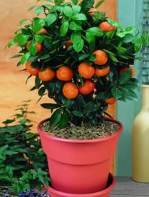 Valencia Orange Potted Kit