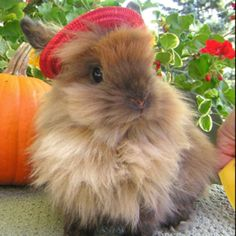Lion head bunny