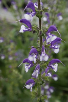 Salvia 'Madeline'  2 ft, hardy z5 with drainage. Oudolf selection from S. hians.
