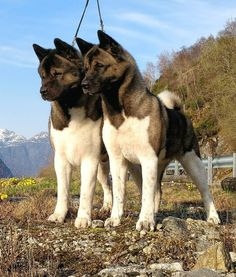 dog breeds dog funny dog photography dog in weddings dog stuff dog cutest dog and puppies dog diy dog drawing dog quotes Akita Puppies, Dogs And Puppies, American Akita Dog, Japanese Akita, Dog Minding, Huge Dogs, Yorkshire Terrier Puppies, Dog Pictures, Best Dogs