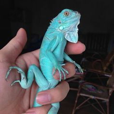 Blue axanthic iguana