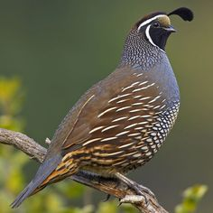 CALIFORNIA QUAIL or VALLEY QUAIL Callipepla californica ©Quality Quail The California quail lives in grasslands, foothills, woodlands, canyons and at the edge of deserts. It likes areas with lots of brush. The California quail eats seeds, plant parts. Pretty Birds, Love Birds, Beautiful Birds, Animals Beautiful, Exotic Birds, Colorful Birds, State Birds, Bird Watching, Bird Art