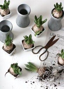 Forced hyacinth bulbs | Gardeista