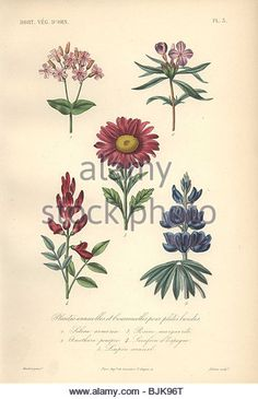 """Decorative botanical print with sweet william, primrose, aster, goat's rue and lupin from Herincq's """"Regne - Stock Image"""