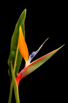Bird of Paradise flower by swag