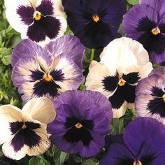 Pansy Matrix Ocean Breeze Collection (72 plants) £15.00