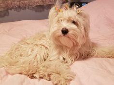 Holly  Tibetan Terrier  2017