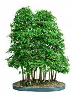 Bonsai forest #bonsai