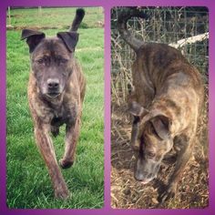 Meet Chase, who is looking for rescue. He is a brindle Staffie cross male about 5-6 yrs old. Looking for a quiet home, who can give him some fusses. #safeandsound #rescue #rescuedog #staffy #staffie #bullterrier #dontshopadopt #dog #newlife #happy #love #givesomuch #giveadogachance #somanyneedanewhome #adoption #pet #beautiful #bestfriend #mansbestfriend www.safe-and-sound.org