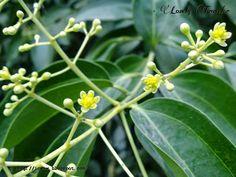 Daruchini Flower (দারুচিনি ফুল) - Cinnamomum Zeylanicum