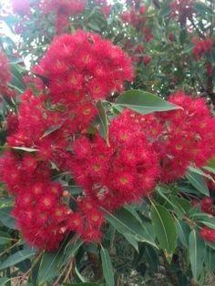 Mother Nature - flowering gum