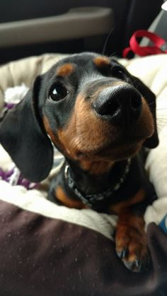 """Learn even more details on """"Dachshund Puppies"""". Have a look at our web site. Dachshund Puppies, Weenie Dogs, Dachshund Love, Cute Puppies, Cute Dogs, Doggies, Dachshund Gifts, Chihuahua Dogs, Dapple Dachshund"""