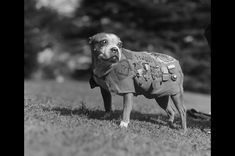 Sergeant Stubby, the most decorated war dog of World War I and the only dog to be promoted to sergeant through combat. The Boston Bull Terrier started as the mascot of the 102nd Infantry, 26th Yankee Division,  Brought to the front lines, he was injured in a gas attack and developed a sensitivity that allowed him to warn of incoming gas attacks. He helped find wounded soldiers, even captured a spy who was mapping allied trenches. He was the first dog ever given rank in the US Armed Forces.