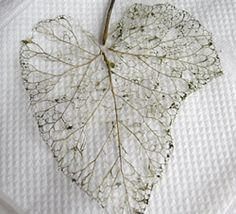 skeletonized leaf... Can someone translate this for me!