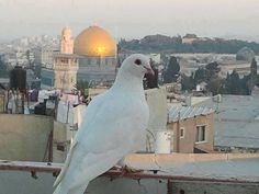 في القدس، رغمَ تتابعِ النَّكَباتِ، ريحُ براءةٍ في الجوِّ، ريحُ طُفُولَةٍ،  فَتَرى الحمامَ يَطِيرُ يُعلِنُ دَوْلَةً في الريحِ بَيْنَ رَصَاصَتَيْنْ