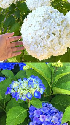Propagate Hydrangea cuttings in 2 easy steps and multiply your favorite beautiful Hydrangea plants for free! Plus a FAIL PROOF propagation secret! - A Piece of Rainbow Propagating Hydrangeas, Hydrangea Care, Hydrangea Colors, Easy Flower Painting, English Garden Design, Propagation, Cuttings, Growing Plants, Planting Plants