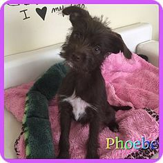 Hollywood, FL - Terrier (Unknown Type, Small) Mix. Meet Pheobe, a puppy for adoption. http://www.adoptapet.com/pet/17061211-hollywood-florida-terrier-unknown-type-small-mix