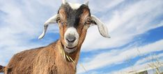 Raising Goats for Fun and Profit Learn about owning these independent and affectionate creatures. Keeping Goats, Raising Goats, Raising Rabbits, Small Goat, Goat Barn, Mini Farm, Goat Farming, Hobby Farms, Urban Farming