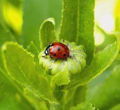 Ladybug  amy-mcdaniel.artistwebsites.com/