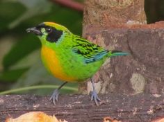 Green-and-Gold Tanager, Tangara schrankii, at Copalinga Lodge, S-EC. VE/ CO/ EC/ PE/ BO/ BR
