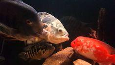 Oscar Fish Cured of Swim Bladder Disease! Swim Bladder Disease, Oscar Fish, The Cure, Swimming, Pets, Youtube, Animals, Watch, Health