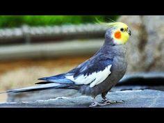 YouTube Cockatiel, Bird Feathers, Beautiful Birds, Kawaii, Youtube, Parrots, Aurora, Natural, Fluffy Animals
