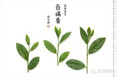 #百瑞香 #武夷岩茶 #wuyi #cliff #tea #bairuixiang