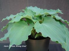 HOSTA /'BLUE ANGEL/' x3 PLUGS Large slightly wavy edged blue leaves!!