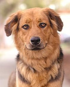 12/6/16 Meet HAZEL, an adoptable Australian Shepherd looking for a forever home. If you're looking for a new pet to adopt or want information on how to get involved with adoptable pets, Petfinder.com is a great resource.