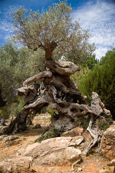 Olive tree . Mediterranean. Mallorca. A small olive tree forest just outside the house and inside the garden.
