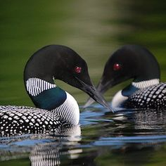 Common loon, wildlife of the us pictures - Google Search