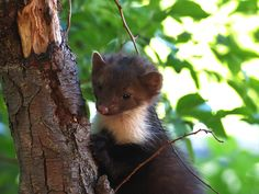 Least weasels are the smallest Mustelid (which includes martens, otters, ferrets and other weasels). In fact, it's the smallest carnivore worldwide.