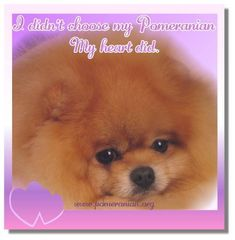 Pomeranian Pomeranian Pomeranian Dog Save A Dog