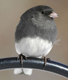 "Dark-eyed Junco - ""Slate-colored"" Junco.  These birds come to Oklahoma during the winter and help the sparrows, bluejays, and mourning doves eat the seeds we put out.  Really lovely bird."