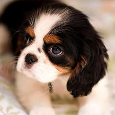 a sweet one, Cavalier King Charles puppy