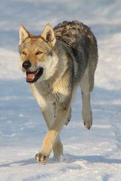 Raksha my Czechoslovakian wolfdog [link] --------- CS Wolfdog Stock 3 Cute Dogs And Puppies, Pet Dogs, Animals Images, Cute Animals, Wolf Poses, Dog Emoji, Czechoslovakian Wolfdog, Strongest Animal, Wolf World