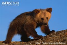 Young brown bear, Canadian population