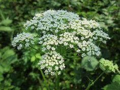 Zevenblad kan je tot wanhoop drijven, het is niet weg te krijgen. Of toch wel? Plant op de probleemplek Geranium macrorrhizum!