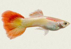10x Flame (Micarif) Male Guppy - Poecilia reticulata -  Live tropical fish