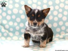 Welsh Corgi/Blue Heeler mix. Almost identical to Darla...just needs bigger ears