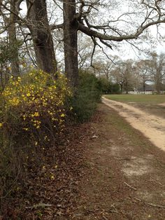 Forsythia in bloom along a country lane